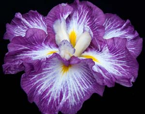 An example of a six fall flower Iris ensata 'Sunrise Ridge.'