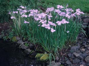 Iris ensata in a setting similar to their natural habitat.