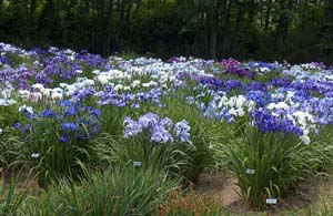 Japanese iris have been bred to display the color spectrum from red violet, through blue, to white.