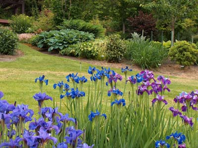 A mass planting of Siberian iris demonstrates the allure of this spectacular garden plant.