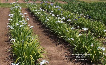 ris laevigata seedlings.
