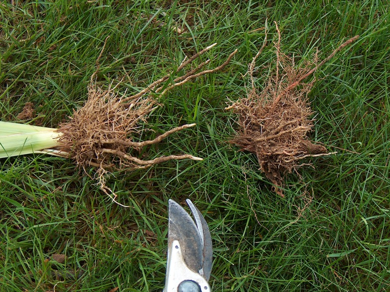 Cut away the previous years roots and rhizomes.