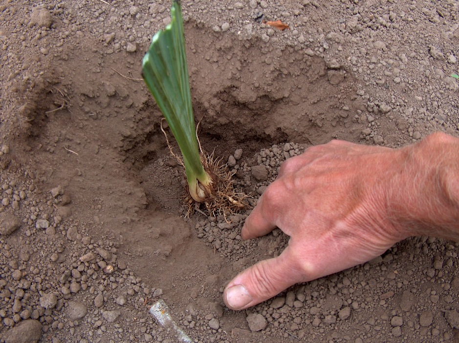 Plant the rhizome of Japanese iris two to three inches deep