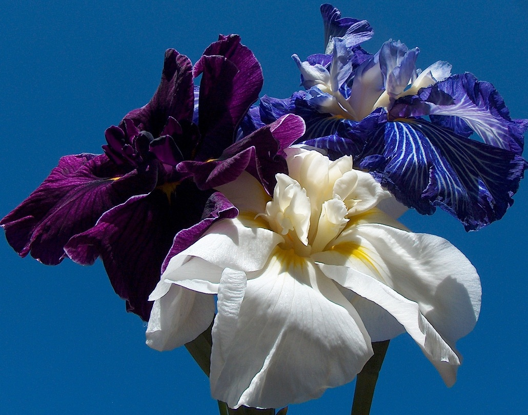 There are only three colors found with Japanese iris red white and blue.